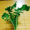 葉物の価格が高騰しているこの冬にオススメの青(緑)の野菜